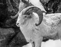 Stora horn- får stänger sig upp Royaltyfria Foton