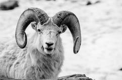 Stora horn- får stänger sig upp Arkivbilder