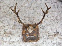Stora horn på kronhjort på en stenvägg av den forntida medeltida slotten Fotografering för Bildbyråer