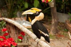 Stora hornbillBucerosbicornis Royaltyfri Bild