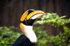 Stora hornbillBucerosbicornis Royaltyfria Bilder