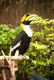 Stora hornbillBucerosbicornis Arkivfoto