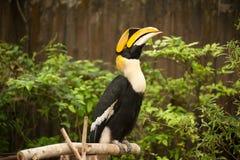 Stora hornbillBucerosbicornis Royaltyfri Foto