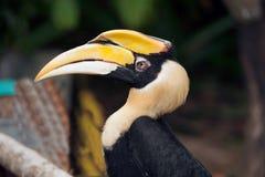 Stora hornbillBucerosbicornis också som är bekanta som den stora indiern Fotografering för Bildbyråer