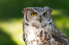 Stora Horned Owl Against Green Arkivfoton