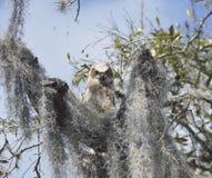 Stora Horned Owl Baby Arkivbilder