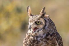 Stora Horned Owl Calling Royaltyfri Fotografi