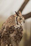 Stora Horned Owl Calling Out Royaltyfria Foton