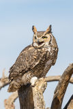 Stora Horned Owl Calling Out Arkivfoto