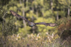 Stora Horned Owl Canadian Raptor Conservancy Arkivfoto