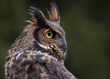 Stora Horned Owl Close-Up Arkivfoto