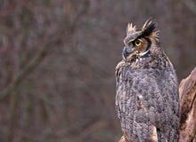 Stora Horned Owl Copyspace Arkivfoton