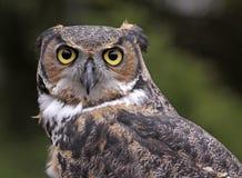 Stora Horned Owl Ears Back Arkivfoto