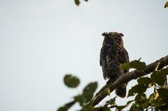 Stora Horned Owl Ears Back Arkivbilder