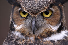 Stora Horned Owl Eyes Royaltyfri Bild