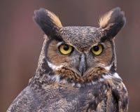 Stora Horned Owl Face Royaltyfri Bild