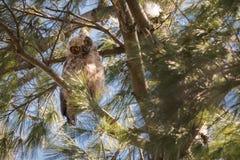 Stora Horned Owl Fledgling i höjdpunkt parkerar, Toronto Royaltyfri Fotografi