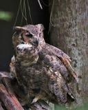 Stora Horned Owl Florida Arkivbilder
