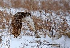 Stora Horned Owl Flying Royaltyfri Foto