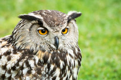 Stora Horned Owl Head Close Up Arkivbilder