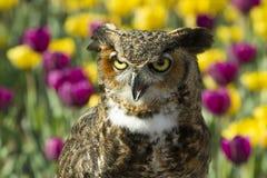 Stora Horned Owl Head och skuldror Royaltyfri Foto