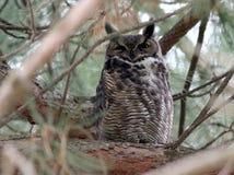 Stora Horned Owl Hiding i dag Fotografering för Bildbyråer