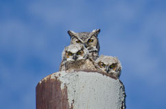 Stora Horned Owl Nest With Two Owlets Royaltyfria Bilder