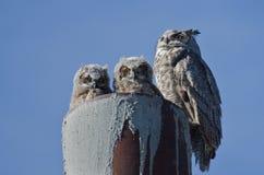 Stora Horned Owl Nest With Two Owlets Royaltyfri Bild