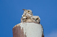 Stora Horned Owl Nest With Two Owlets Royaltyfri Foto