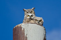 Stora Horned Owl Nest With Two Owlets Arkivfoto