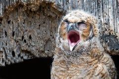 Stora Horned Owl Owlet gäspar i rede Royaltyfri Foto