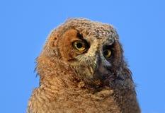 Stora Horned Owl Owlet Portrait Arkivfoto