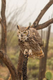 Stora Horned Owl Perched Head On Royaltyfria Foton