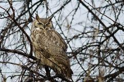 Stora Horned Owl Perched i ett träd Royaltyfria Foton