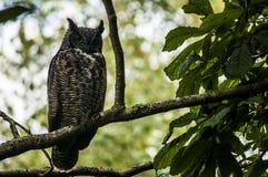 Stora Horned Owl Perched i ett träd Royaltyfri Fotografi
