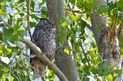 Stora Horned Owl Perched på en filial Arkivfoton