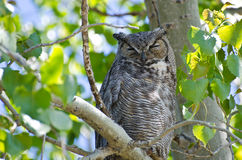 Stora Horned Owl Perched på en filial Royaltyfri Bild