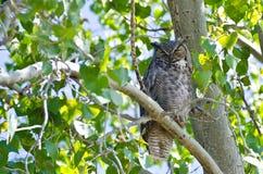 Stora Horned Owl Perched på en filial Arkivfoto
