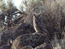 Stora Horned Owl Perched på en stenblock Arkivfoto