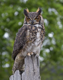 Stora Horned Owl Perched på staketet Post Royaltyfri Fotografi