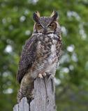 Stora Horned Owl Perched på staketet Post Royaltyfri Fotografi