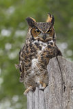 Stora Horned Owl Perched på staketet Post Arkivfoto