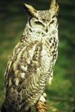 Stora Horned Owl Perching Royaltyfria Bilder