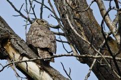 Stora Horned Owl Scanning Across trädblasten Royaltyfria Bilder