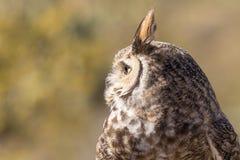 Stora Horned Owl Side Portrait Fotografering för Bildbyråer