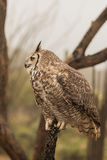 Stora Horned Owl Side Profile Royaltyfri Fotografi