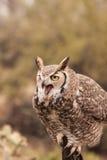Stora horned Owl Squawking Arkivfoton