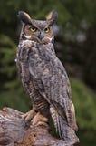 Stora Horned Owl Stare Royaltyfria Bilder