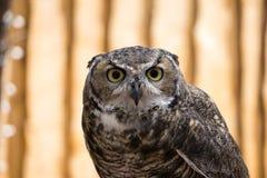 Stora Horned Owl Staring på kameran Fotografering för Bildbyråer