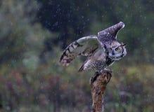 Stora Horned Owl Take-Off Royaltyfri Bild